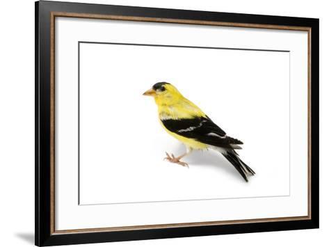 An American Goldfinch, Spinus Tristis-Joel Sartore-Framed Art Print