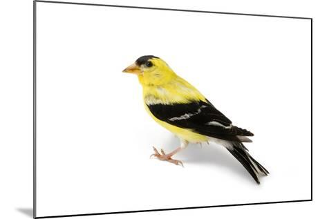 An American Goldfinch, Spinus Tristis-Joel Sartore-Mounted Photographic Print