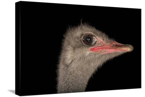 A Male Ostrich, Struthio Camelus, at Omaha's Henry Doorly Zoo and Aquarium-Joel Sartore-Stretched Canvas Print