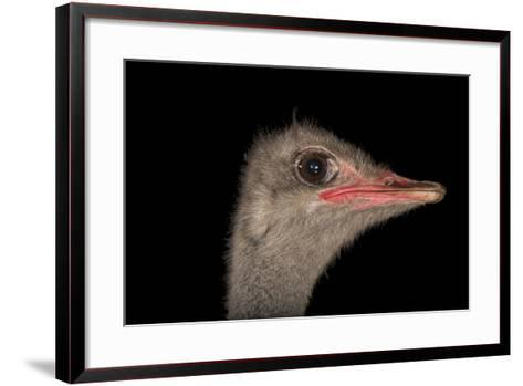 A Male Ostrich, Struthio Camelus, at Omaha's Henry Doorly Zoo and Aquarium-Joel Sartore-Framed Art Print