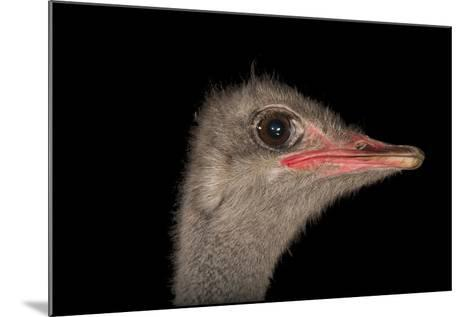 A Male Ostrich, Struthio Camelus, at Omaha's Henry Doorly Zoo and Aquarium-Joel Sartore-Mounted Photographic Print
