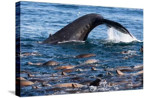 A Humpback Whale Dives for Anchovies Near a Group of California Sea Lions, Zalophus Californianus-Jak Wonderly-Stretched Canvas Print