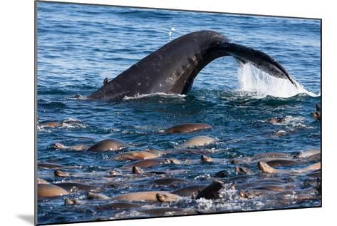 A Humpback Whale Dives for Anchovies Near a Group of California Sea Lions, Zalophus Californianus-Jak Wonderly-Mounted Photographic Print