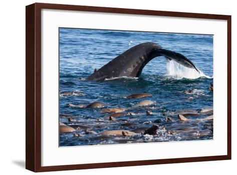 A Humpback Whale Dives for Anchovies Near a Group of California Sea Lions, Zalophus Californianus-Jak Wonderly-Framed Art Print