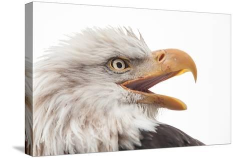 Close Up of Bald Eagle, Haliaeetus Leucocephalus, with its Beak Open-Jak Wonderly-Stretched Canvas Print