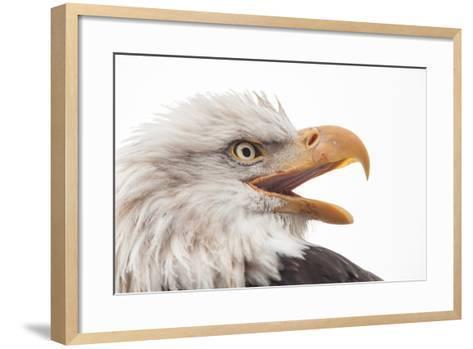 Close Up of Bald Eagle, Haliaeetus Leucocephalus, with its Beak Open-Jak Wonderly-Framed Art Print