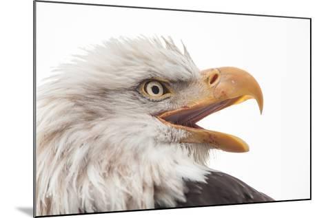 Close Up of Bald Eagle, Haliaeetus Leucocephalus, with its Beak Open-Jak Wonderly-Mounted Photographic Print