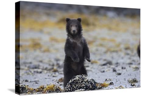 Juvenile Brown Bear Cub, Ursus Arctos, Standing-Roy Toft-Stretched Canvas Print