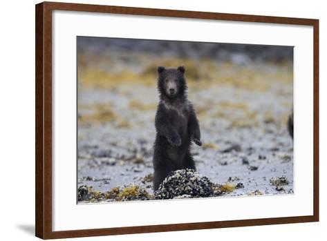 Juvenile Brown Bear Cub, Ursus Arctos, Standing-Roy Toft-Framed Art Print