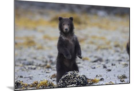 Juvenile Brown Bear Cub, Ursus Arctos, Standing-Roy Toft-Mounted Photographic Print