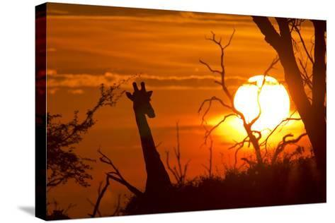 Silhouette of Southern Giraffe at Sunset-Roy Toft-Stretched Canvas Print
