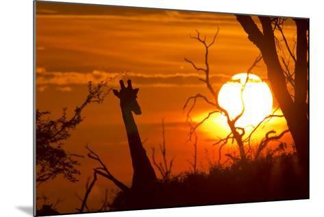 Silhouette of Southern Giraffe at Sunset-Roy Toft-Mounted Photographic Print