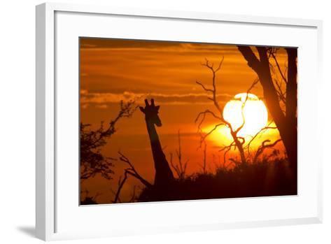 Silhouette of Southern Giraffe at Sunset-Roy Toft-Framed Art Print