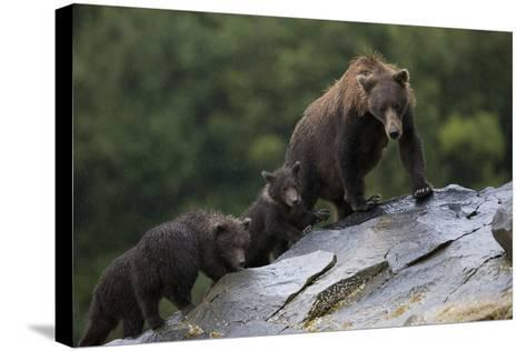 Adult Brown Bear, Ursus Arctos, with Juvenile Cubs-Roy Toft-Stretched Canvas Print