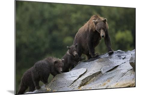 Adult Brown Bear, Ursus Arctos, with Juvenile Cubs-Roy Toft-Mounted Photographic Print