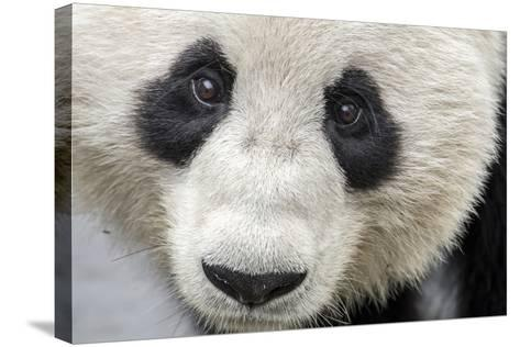 Close Up Portrait of a Captive Adult Giant Panda-Ami Vitale-Stretched Canvas Print