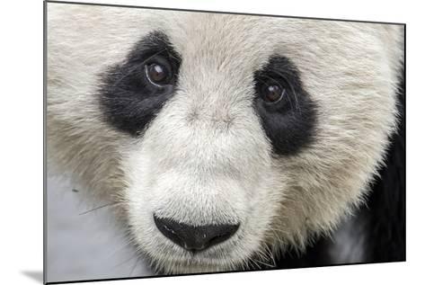 Close Up Portrait of a Captive Adult Giant Panda-Ami Vitale-Mounted Photographic Print