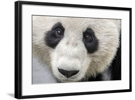 Close Up Portrait of a Captive Adult Giant Panda-Ami Vitale-Framed Art Print