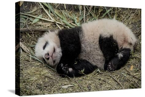 A Captive-Born Giant Panda Cub Resting in its Enclosure-Ami Vitale-Stretched Canvas Print