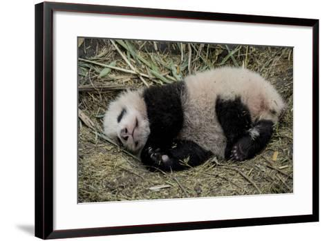 A Captive-Born Giant Panda Cub Resting in its Enclosure-Ami Vitale-Framed Art Print