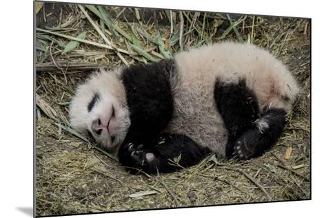 A Captive-Born Giant Panda Cub Resting in its Enclosure-Ami Vitale-Mounted Photographic Print