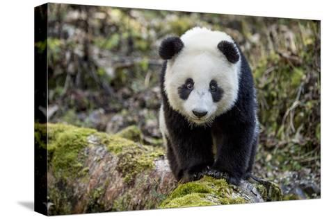 Portrait of a Captive-Born Giant Panda in the Dengsheng Forest-Ami Vitale-Stretched Canvas Print