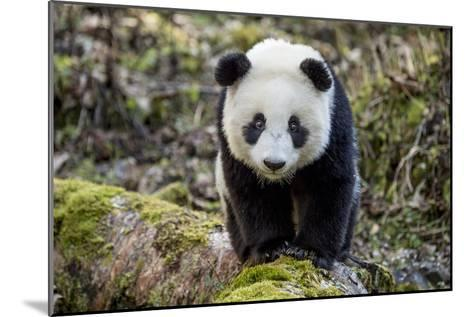 Portrait of a Captive-Born Giant Panda in the Dengsheng Forest-Ami Vitale-Mounted Photographic Print