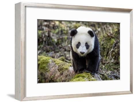 Portrait of a Captive-Born Giant Panda in the Dengsheng Forest-Ami Vitale-Framed Art Print