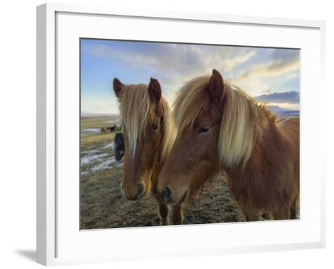 Icelandic Horses are Small, Often Pony-Sized, But are Long-Lived and Hardy-Babak Tafreshi-Framed Art Print