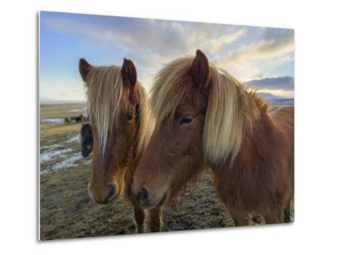 Icelandic Horses are Small, Often Pony-Sized, But are Long-Lived and Hardy-Babak Tafreshi-Metal Print