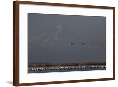 Flamingos Flying over and Resting in Gorgan Bay. Mount Damavand Volcano in the Background-Babak Tafreshi-Framed Art Print