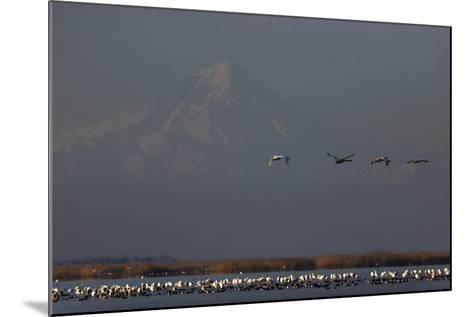 Flamingos Flying over and Resting in Gorgan Bay. Mount Damavand Volcano in the Background-Babak Tafreshi-Mounted Photographic Print