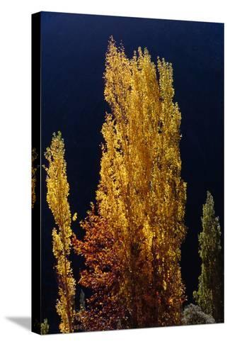 Golden Fall Colors of a Poplar Tree in the Alborz Mountains, Iran-Babak Tafreshi-Stretched Canvas Print