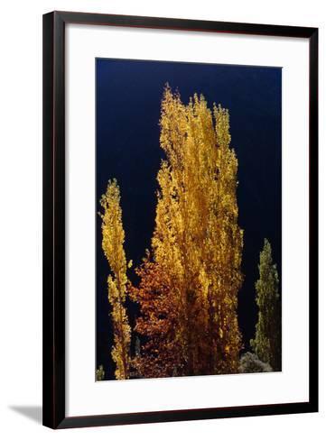 Golden Fall Colors of a Poplar Tree in the Alborz Mountains, Iran-Babak Tafreshi-Framed Art Print