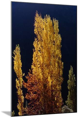 Golden Fall Colors of a Poplar Tree in the Alborz Mountains, Iran-Babak Tafreshi-Mounted Photographic Print