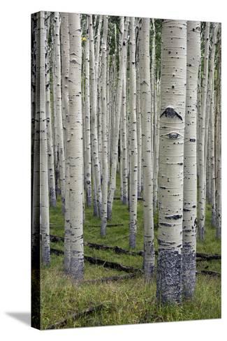 Aspen Trees Along the Inner Basin Trail in the Coconino National Forest-Scott Warren-Stretched Canvas Print