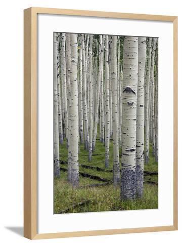 Aspen Trees Along the Inner Basin Trail in the Coconino National Forest-Scott Warren-Framed Art Print