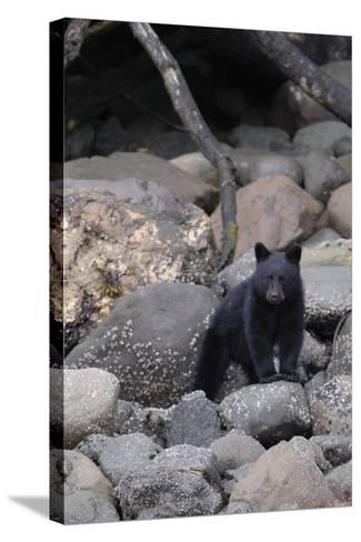 An American Black Bear Cub, Ursus Americanus, Foraging on a Rocky Shore-Jeff Wildermuth-Stretched Canvas Print