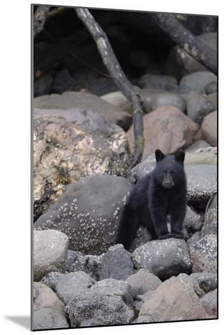 An American Black Bear Cub, Ursus Americanus, Foraging on a Rocky Shore-Jeff Wildermuth-Mounted Photographic Print