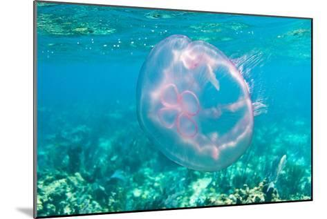 A Moon Jellyfish Floating Underwater by the Coral Reefs Offshore Key Largo, Florida-Mike Theiss-Mounted Photographic Print