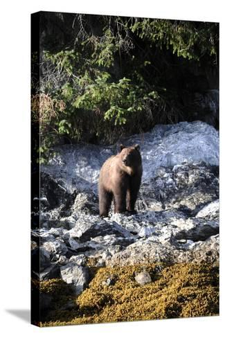 A Grizzly Bear, Ursus Arctos, Foraging on a Rocky Shore-Jeff Wildermuth-Stretched Canvas Print
