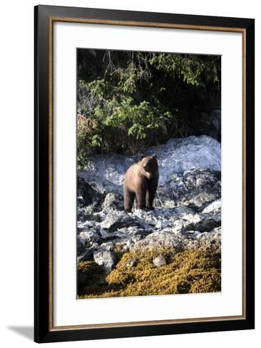 A Grizzly Bear, Ursus Arctos, Foraging on a Rocky Shore-Jeff Wildermuth-Framed Art Print