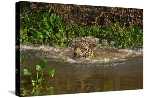 A Wild Jaguar Swims in the Cuiaba River after Jumping in to Catch Prey-Steve Winter-Stretched Canvas Print