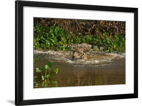 A Wild Jaguar Swims in the Cuiaba River after Jumping in to Catch Prey-Steve Winter-Framed Art Print