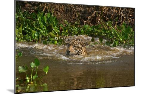 A Wild Jaguar Swims in the Cuiaba River after Jumping in to Catch Prey-Steve Winter-Mounted Photographic Print
