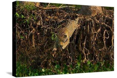 A Wild Jaguar Leaps into the Cuiaba River after Prey-Steve Winter-Stretched Canvas Print