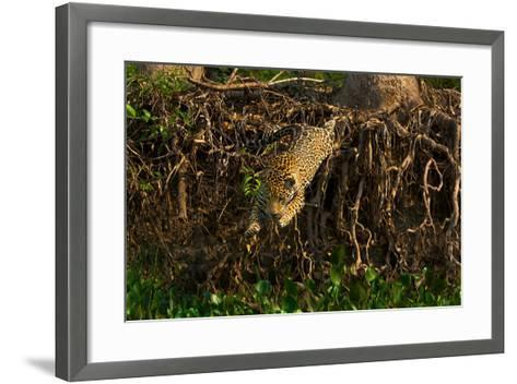 A Wild Jaguar Leaps into the Cuiaba River after Prey-Steve Winter-Framed Art Print