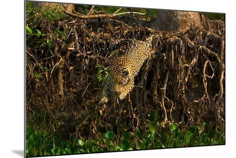 A Wild Jaguar Leaps into the Cuiaba River after Prey-Steve Winter-Mounted Photographic Print