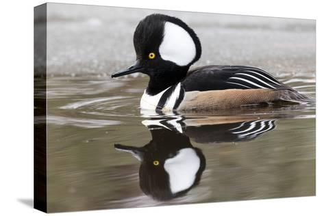 A Male Hooded Merganser Duck, Lophodytes Cucullatus, Swimming in Icy Water-Robbie George-Stretched Canvas Print
