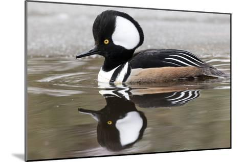 A Male Hooded Merganser Duck, Lophodytes Cucullatus, Swimming in Icy Water-Robbie George-Mounted Photographic Print